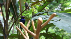 Blue african bird on a branch Stock Footage