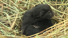 Baby Kitten Pups 2 Days Old Close Up - stock footage
