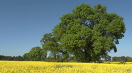 Stock Video Footage of A field of yellow rape (Brassica napus) in Spring, seamless loop