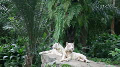 Couple of white tigers Stock Footage