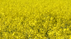 A field of yellow rape (Brassica napus), background, seamless loop - stock footage