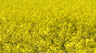 Stock Video Footage of A field of yellow rape (Brassica napus), background, seamless loop