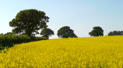 A field of yellow rape (Brassica napus) in Spring, seamless loop with trees - stock footage