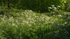 Backlit cow parsley (Anthriscus sylvestris) blown by the breeze Stock Footage