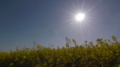 A sun star behind a field of yellow rape (Brassica napus) Stock Footage