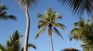Palm tree. Stock Footage