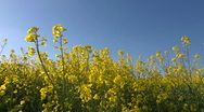 Close up of Rape flowers (Brassica napus) against a spring blue sky Stock Footage