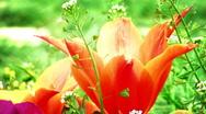 Tulip garden green Stock Footage