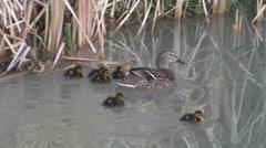 Cute Ducklings Stock Footage