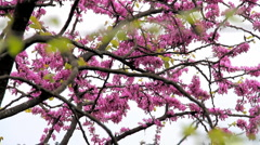 Cherry Blossoms Tree 02 Stock Footage