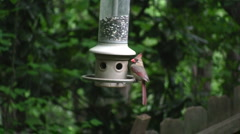 Female Cardinal at Feeder - stock footage