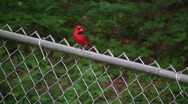 Stock Video Footage of Cardinal Flying off of Fence