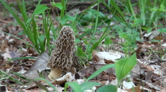 Yellow morel mushroom Stock Footage