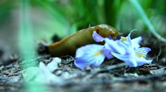 A banana slug eats a flower. Stock Footage