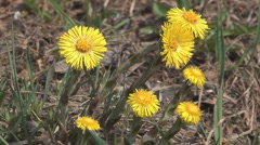 Coltsfoot. Stock Footage