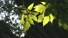 Sunshine and Leaves Stock Footage