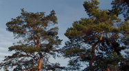 Stock Video Footage of 2 pine trees in wind