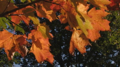 Glowing maple leaves in dark forest, autumn Stock Footage
