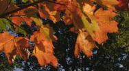 Stock Video Footage of glowing maple leaves in dark forest, autumn