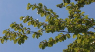 Stock Video Footage of leaves of beech tree in the wind with blue sky