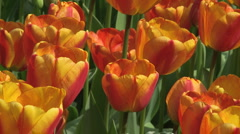 Tulips 05 - stock footage