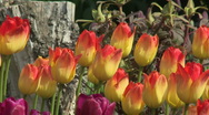 Stock Video Footage of Tulips 06