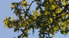 Leaves of oak tree in the wind Stock Footage