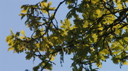 Stock Video Footage of leaves of oak tree in the wind