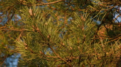 needles of a pine at branches, sundown - stock footage