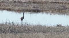 Sand Hill Crane No 1 Stock Footage