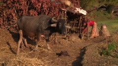 Nepal: Woman works on her farm Stock Footage