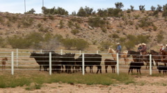 Small Herd of Cattle in Corral with Cowboys First of Roundup Stock Footage
