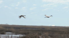 Sand Hill Cranes in Flight Stock Footage