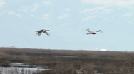 Stock Video Footage of Sand Hill Cranes in Flight