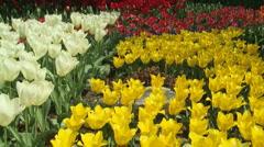Tulips 08 Stock Footage