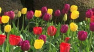 Stock Video Footage of Tulips 09