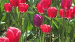 Tulips 10 - stock footage