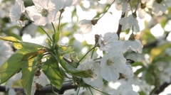 Blossom trees in garden centre Stock Footage