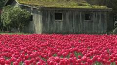 Tulips 12 Stock Footage
