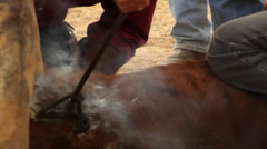 A Young Calf Branded by Cowboys Stock Footage