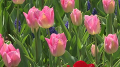 Tulips 13 Stock Footage