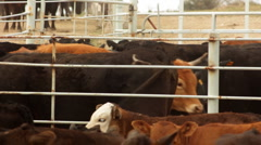 Bulls in Rear Corral Stock Footage