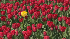 Tulips 14 Stock Footage