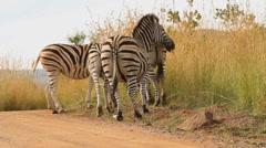 Zebra Bums GFHD Stock Footage