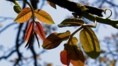 Branch of walnut tree with colourful leaves Stock Footage