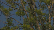 Stock Video Footage of branches and leaves of ash-tree