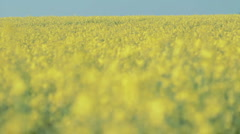 Rack Focus Oilseed Stock Footage