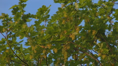 Stock Video Footage of maple leaves, with blue sky, gentle wind