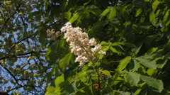 Blossoms of chestnut tree, wind Stock Footage
