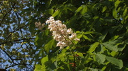 Stock Video Footage of blossoms of chestnut tree, wind